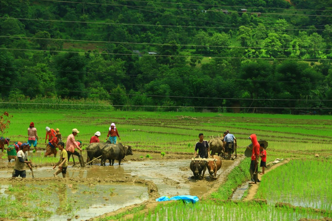 Reisanbau in Nepal